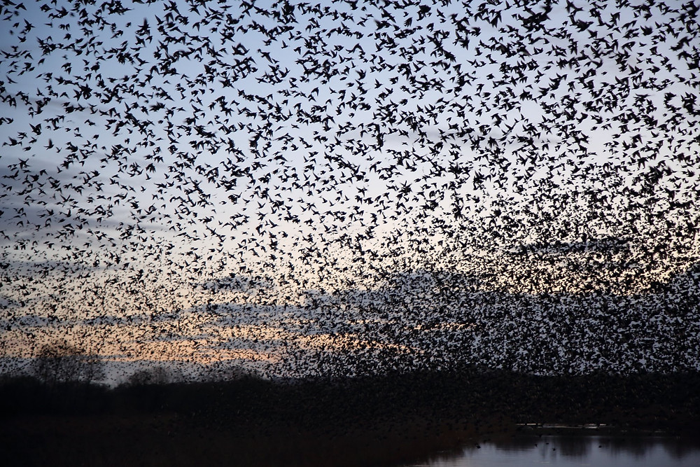 Somerset cool, Somerset blogger, Starling murmations in Somerset