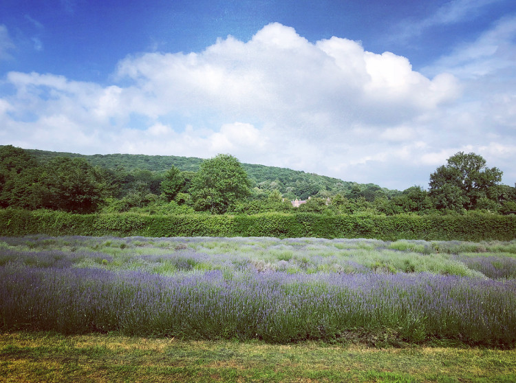 Lavender & co, Lavender fields in Somerset, Somerset cool, Somerset blog, Somerset bloggers