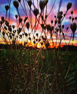 Sunset reeds on the meadow