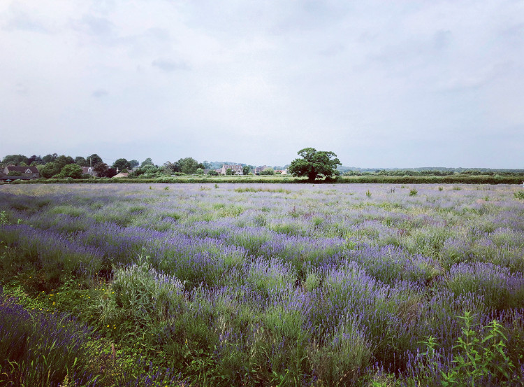 Somerset lavender, Lavender fields in Somerset, Somerset blog, Somerset blogger, Somerset bloggers, Somerset cool