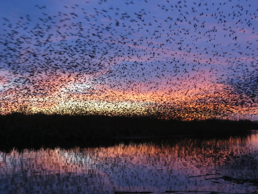 Somerset starling murmurations, jackie curtis, Somerset cool, Somerset blog, best Somerset blog, Somerset blogger