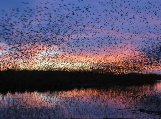 In search of starlings – experiencing the Somerset murmurations