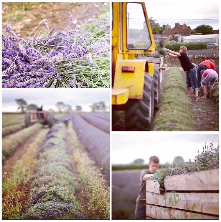 Somerset lavender, Somerset lavender fields, Somerset cool, Somerset blog, Somerset blogger, Somerset bloggers, Somerset lifestyle blog