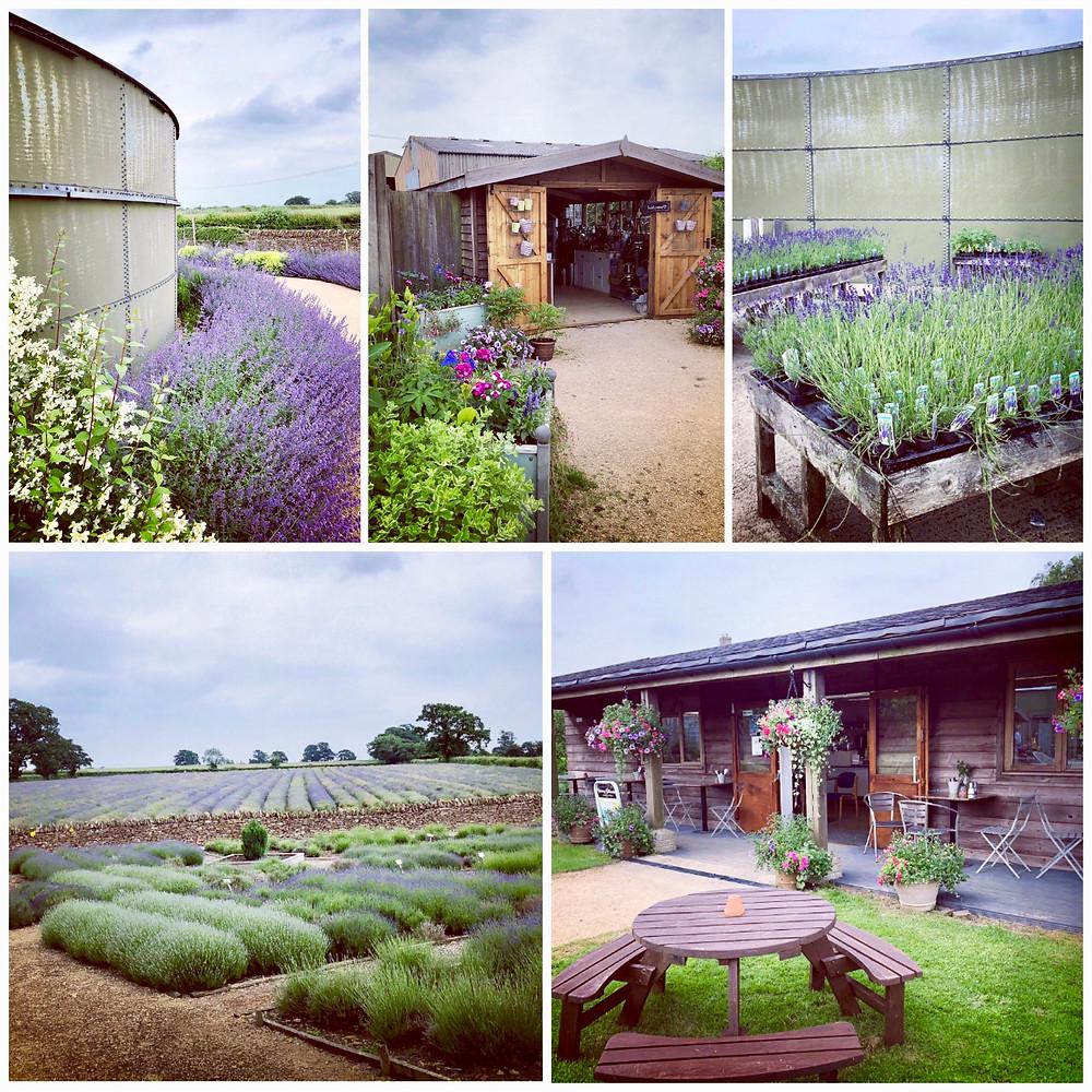 Somerset lavender, Lavender fields in Somerset, Somerset cool, Somerset cool blog, Somerset blog, Somerset bloggers, Somerset blog