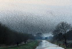 Starlings - Canada Farm