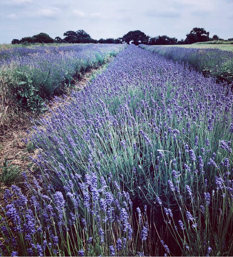 Somerset Lavender, Somerset cool, Lavender fields in Somerset, Somerset blog, Somerset blogger, Somerset bloggers, Somerset lifestyle blog, lavender in Somerset