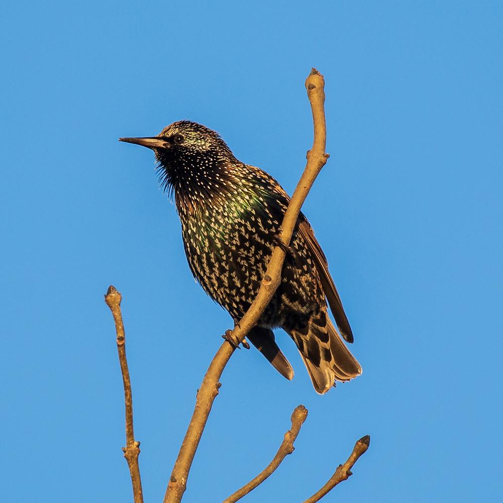 Starlings, Mark Pickthall photography, Shake communications, Shake 6, Inspiration blog, shake comms