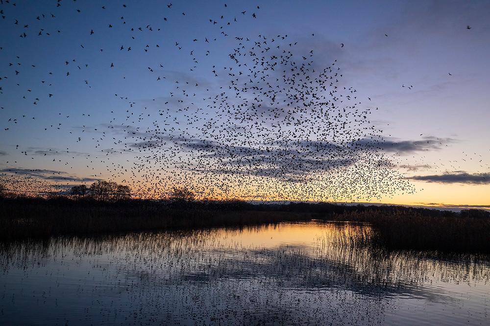 Mark Pickthall photography, Inspiration blog, Shake communications, Shake 6, Starlings, Starling murmurations, shake comms
