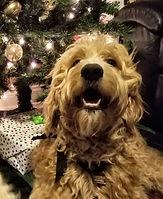 goldendoodle puppy Louisiana