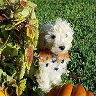 mini miniature goldendoodle puppy Louisiana