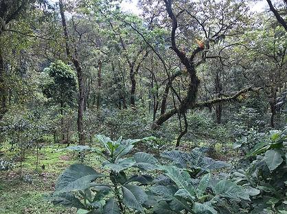 Deep forest Limu.JPG