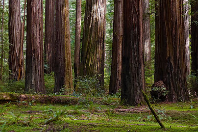 Giant Coast Redwood Trees Tower Over The