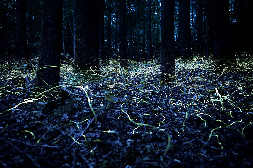 Blue ghost fireflies by Spencer Black