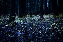 "Blue Ghost Fireflies ""Searching for Love"" by Spencer Black, as seen on guided night walk"