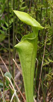 Pitcher Plant (Sarracenia), seen on guided bog tour