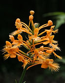Fringed Orchid, Platanthera ciliaris