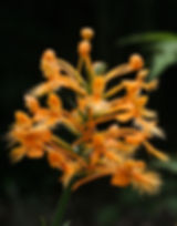 Yellow Fringed Orchid - orchid walks are one of my favorite ecotours to lead