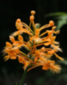 Yellow (orange) Fringed Orchid (Platanthera ciliaris), as seen on a guided orchid walk