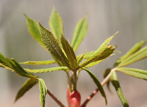 Budding leaves welcome songbirds