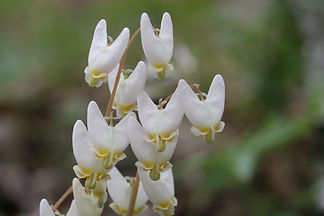 Dutchman's Breeches, spring ephemeral - a jewel of Blue Ridge nature