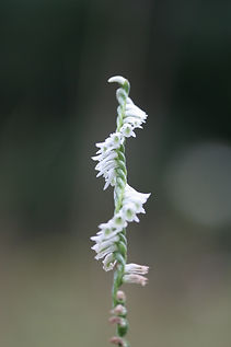 Ladies' Tresses (Spiranthes) Orchid, seen on a guided nature walk