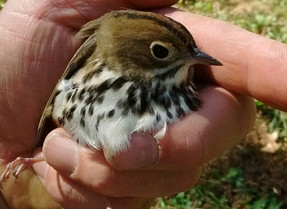 Why they're called Ovenbirds.