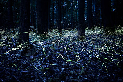 Blue Ghost Fireflies, Spencer Black