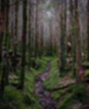 Cloud forest: pure stand of Fraser fir