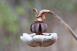 Pitcher Plant (Sarracenia) seed pod, carnivorous bog plant