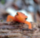 Red Eft (adolescent phase of Eastern Newt), themost commonly seen critter on a Snakeroot ecotour