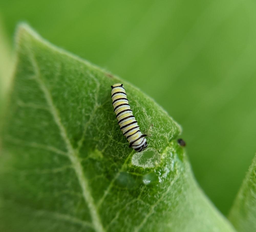 Baby monarch caterpillar