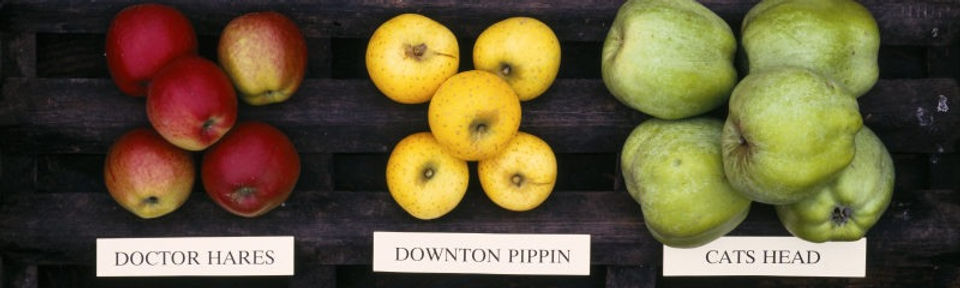 Cider Cycling - cider apple varieties