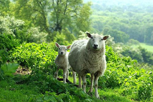 Shropshire sheep, cycling holidays