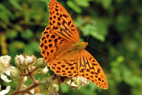 Silver washed fritillary, wildlife cycling safari