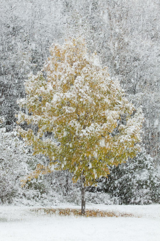 La neige se tasse sur l'arbre