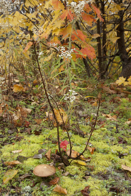 Sous-bois et feuilles d'érable