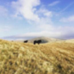 Howgill-Fell-Ponies.jpg