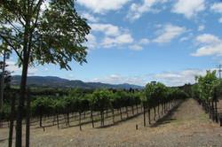 Sonoma wine growing