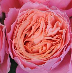 Rosa Loves Me just a little bit more (6)