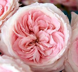 Mayra's Bridal Pink 04.JPG