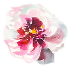 pink-peony-3.png