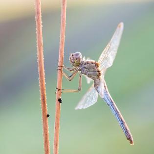 Makrofotografie Libellen