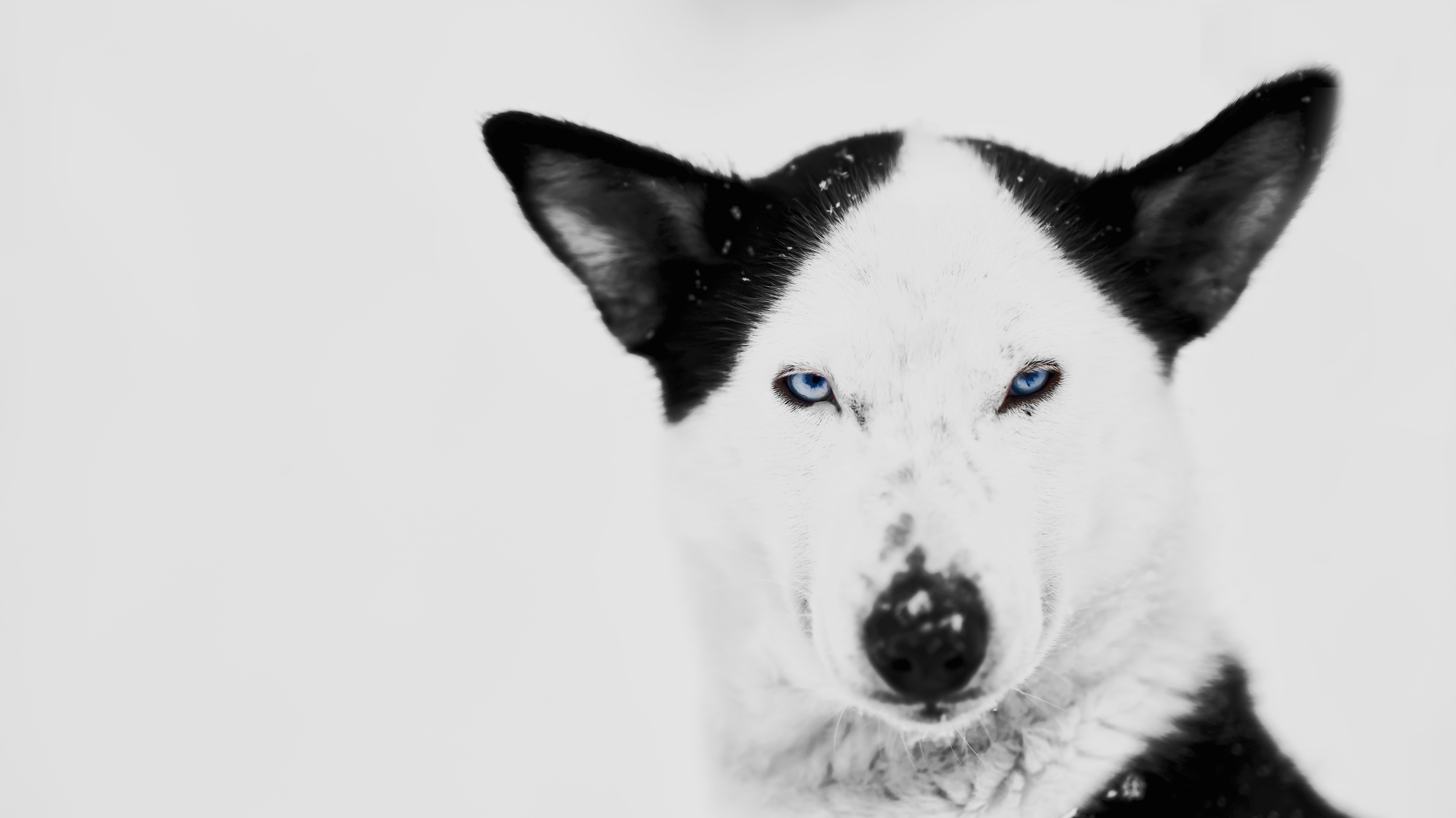Husky/ Lappland