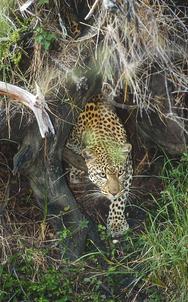 16_Leopard_NR