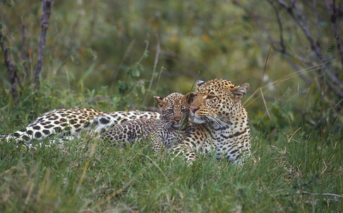 13_Leopard_NR