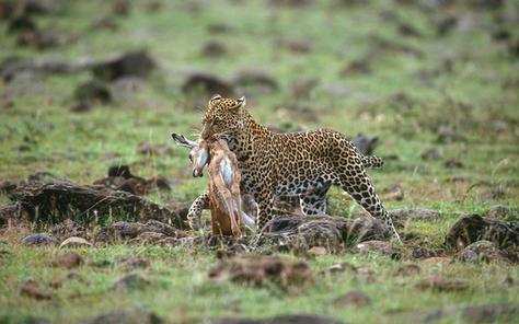 14_Leopard_NR