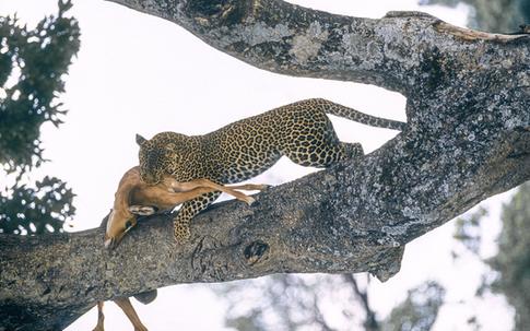 15_Leopard_NR