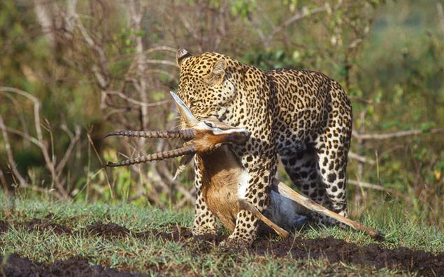 07_Leopard_NR_1920_1200