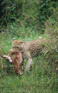 23_Leopard_NR