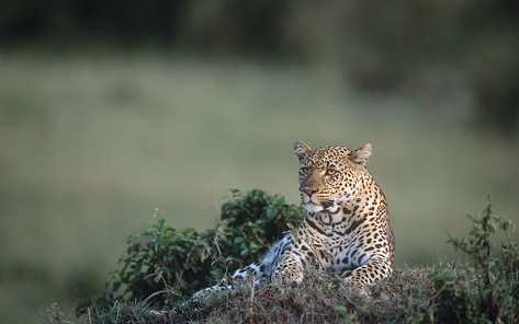 20_Leopard_NR